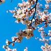 莫斯科的樱花