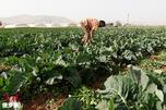 Syria Vegetables CN