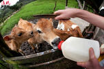 Feeding hungry calves CN