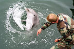 目前全球只有两个军用海豚训练中心,一个在塞瓦斯托波尔,另一个是美国的圣迭戈基地。图片来源: wikipedia/Avatar