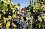 俄罗斯人对葡萄酒的兴趣正日益浓厚。每年,越来越多的俄罗斯人会到酿造优质葡萄酒的地方旅游。图片来源:塔斯社