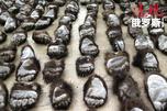 满洲里公路口岸从一辆可疑的俄罗斯拍照面包车上查获棕熊熊掌213只(最大的近30厘米,最小仅15厘米),这是迄今为止中国境内查货的最大宗走私熊掌案件。图片来源:Reuters