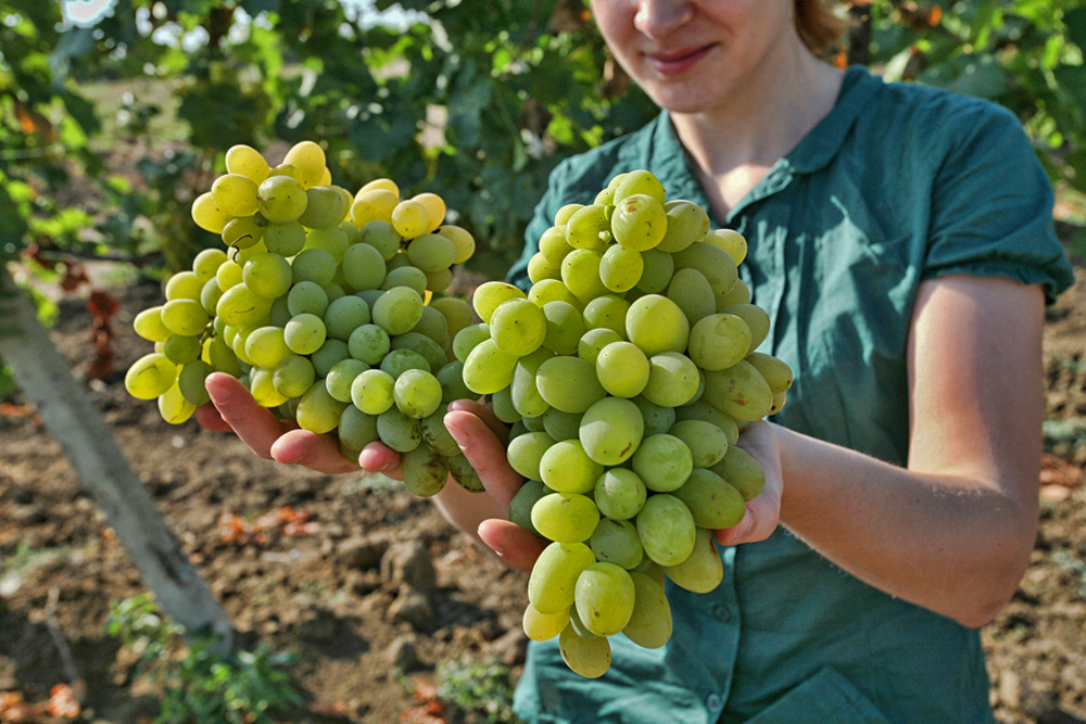 Riesling came to the vineyards when Peter the Great (1672-1725) reportedly told the growers that they needed to import German varieties for entry-level wines. Most producers also make an aligote´ for that purpose as well.
