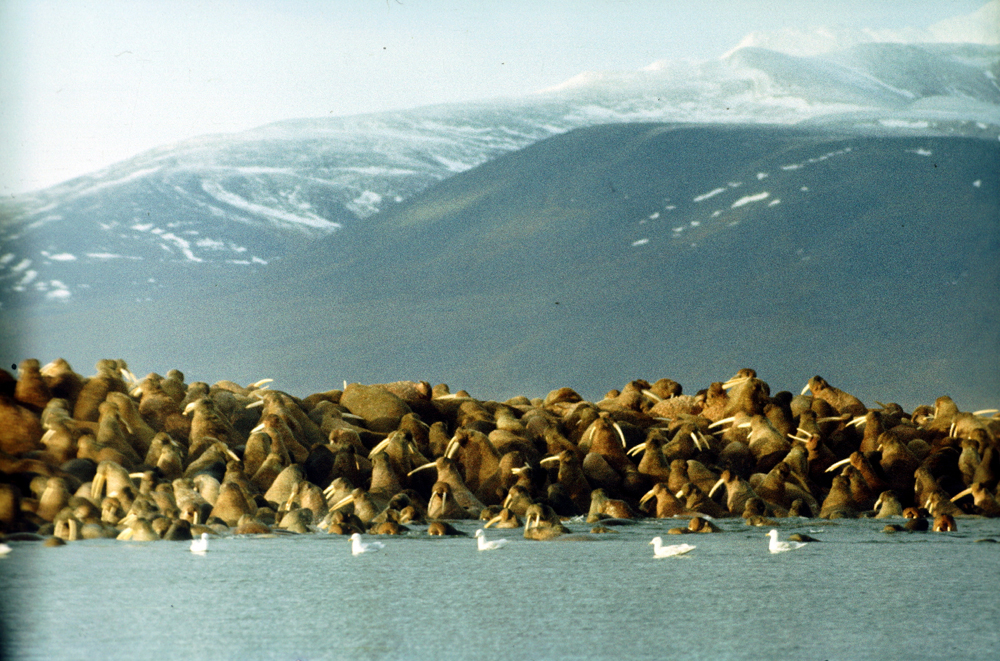 WRANGEL ISLAND. This island in the Arctic Ocean, located at the intersection of the Western and Eastern hemispheres, is divided by the 180th meridian into two roughly equal parts. In 1976, Wrangel Island Reserve was set up to study and protect the natural systems of the Arctic islands, including the small neighboring island of Herald. The island is about 7670 sq km in area, of which about 4700 sq km in the central part is covered by mountains. Small glaciers, average-size lakes, and Arctic tundra are also found. Between the ridges run valleys with numerous rivers. The island is home to more than 140 rivers and streams each more than 1 km long, plus 5 rivers that stretch for more than 50 km.