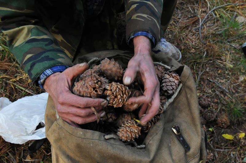 After processing, five sacks of cones produce one bag of nuts.