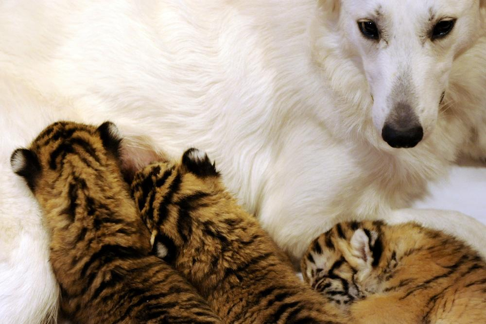In Sochi, Swiss shepherd Tally nurses three tiger kittens abandoned by their mother.