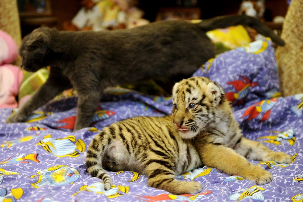 Vets believe it could be good for the tiger kittens to be brought up by a dog and a human being. These natural predators will get used to people from birth.