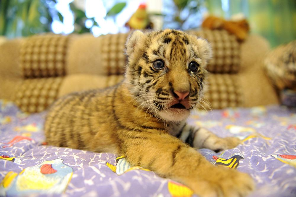 For some reason, the mother refused to feed the kittens. So zoo staff appealed to the public on the Internet: zoo seeks surrogate mother for tiger kittens.