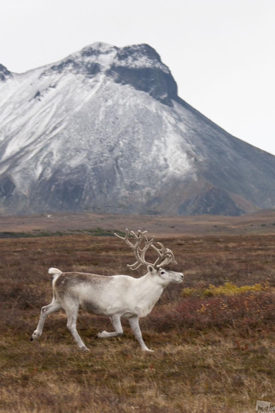 It can live you lonesome // North deer in the outskirts of the Esso settlement, Kamchatka