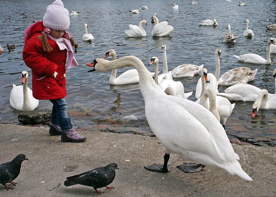 A girl gives bread to a migratory swan in the sea harbor of Baltiysk after they returned from where they spent the winter.