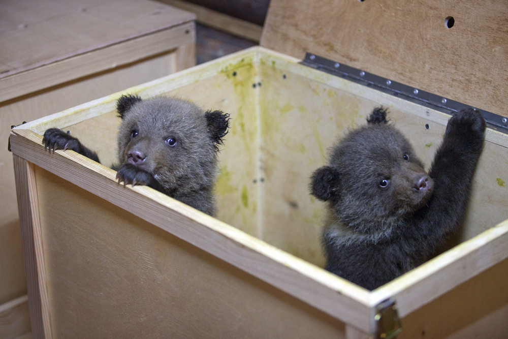 There are six bear cubs in the orphanage at the moment. Uncontrolled hunting has left them without their mothers, struggling to survive.