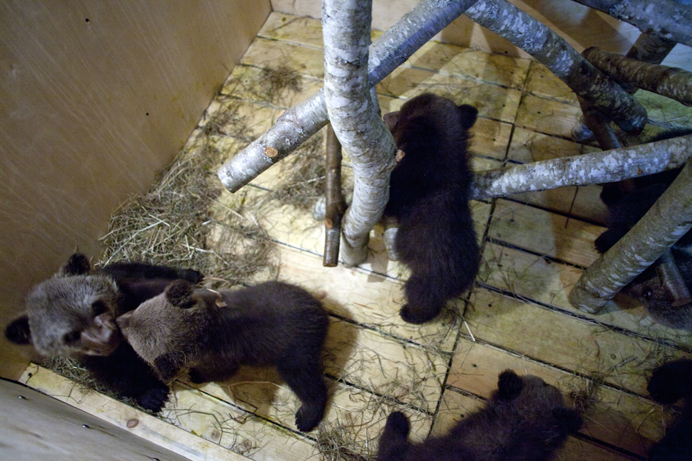 It looks like a real orphanage: first, human nurses feed cubs with milk, keep a record of their weight and give them a bath—which is necessary because the cubs behave just like children: they often get dirty.