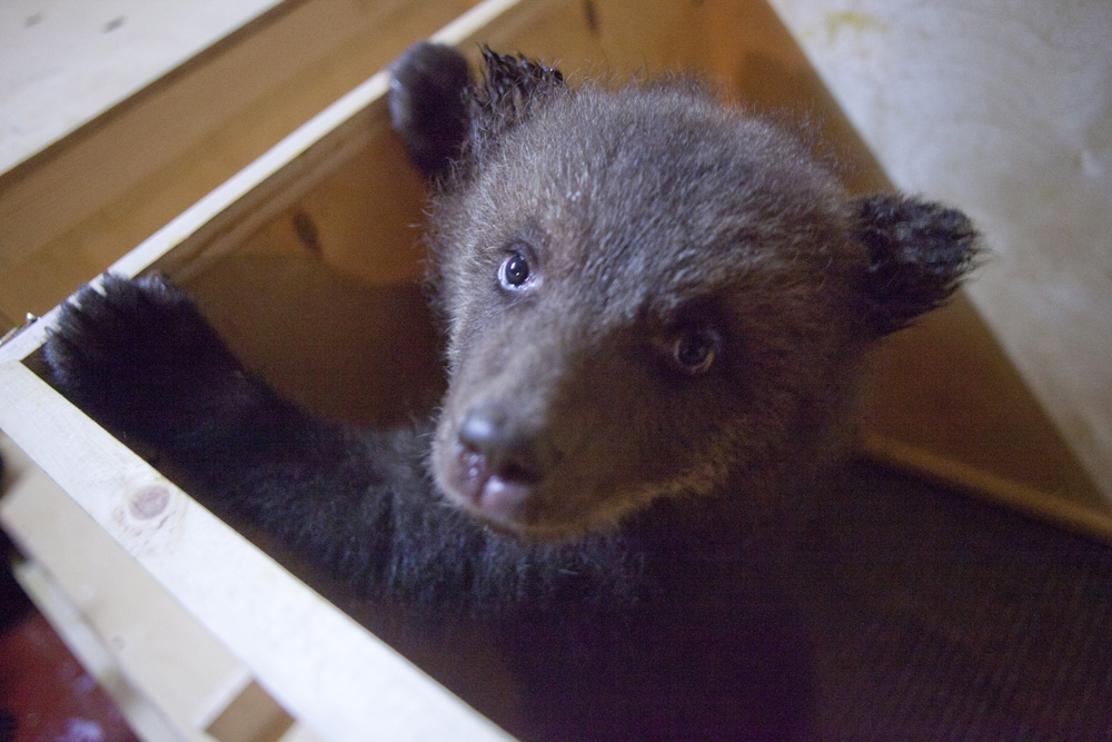 On the International Bear day RBTH presents a report from an orphanage in Russia's Tver Oblast where baby bears whose mothers were killed or poached learn to fend for themselves.