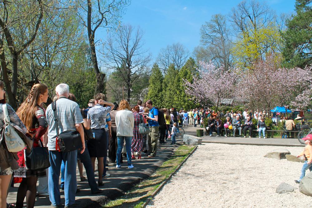 Cette année, les premières fleurs de Cerisier du Japon se sont ouvertes le 8 mai. Les 9-10 mai, jours de floraison abondante,  pour rentrer dans le Jardin japonais du Jardin botanique de l'Académie des sciences de Russie il fallait faire la queue. Pour voir les arbres en fleurs il fallait attendre de 30 à 40 minutes.