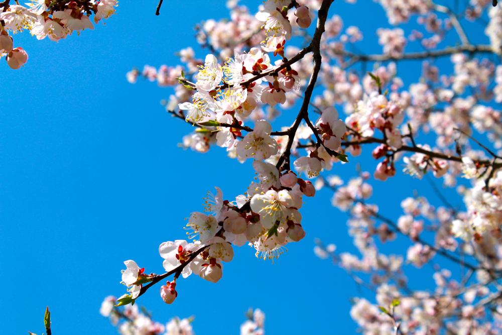Le Jardin japonais compte plus de 100 variétés de plantes : Cerisiers du Japon, Rhododendrons, Erable mono, Orme de David et autres.