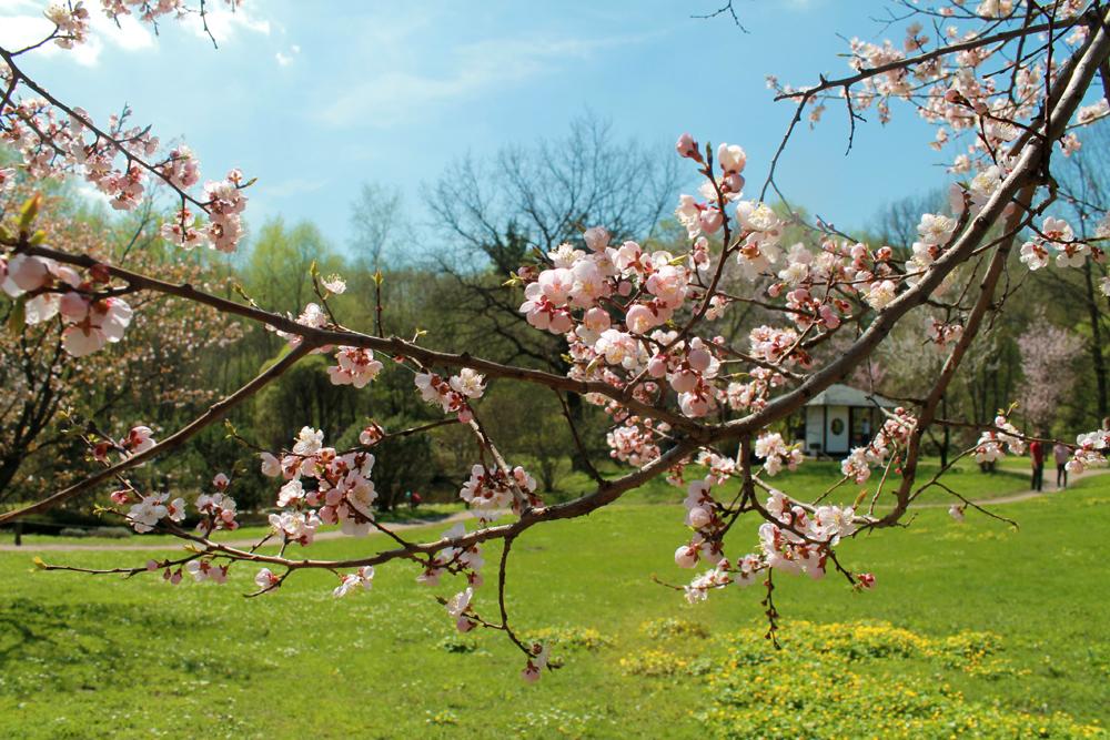 Tous les ans fleurissent environ cinquante arbres. La floraison, dans la zone climatique centrale de Russie, s'étale sur approximativement 5 jours.