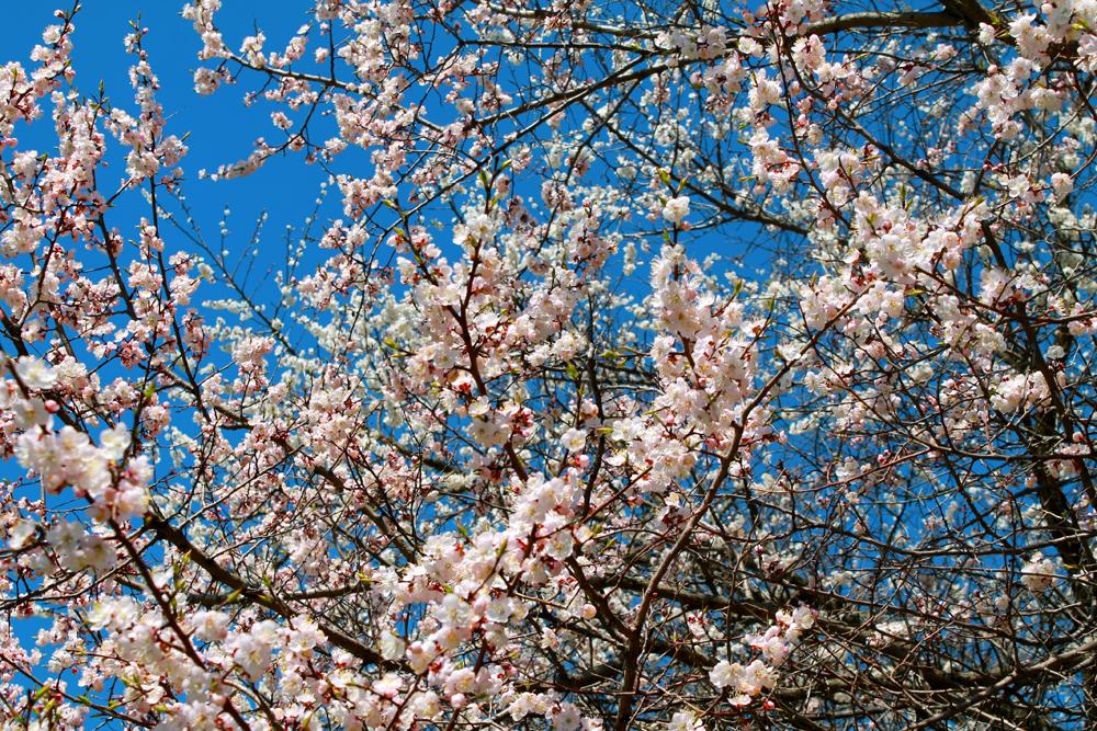 """Le 30 avril, deuxième jour de sa visite officielle à Moscou, le Premier-ministre du Japon Shinzo Abe a planté au Jardin japonais un arbuste de Cerisier du Japon qui a poussé d'une graine provenant de l'arbre que son père, Shintaro Abe, avait planté en 1986. Après la cérémonie, le Premier-ministre du Japon a plaisanté : """"dans 30 ans, le nouveau Premier-ministre du Japon viendra en Russie pour planter un nouvel arbuste de Cerisier du Japon au Jardin botanique""""."""