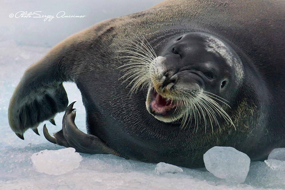 The seas of the Arctic contain seals. These mammals are able to cry, but unlike humans they do not have lacrimal glands. Moreover, they can withstand temperatures down to -80 degrees Celsius.