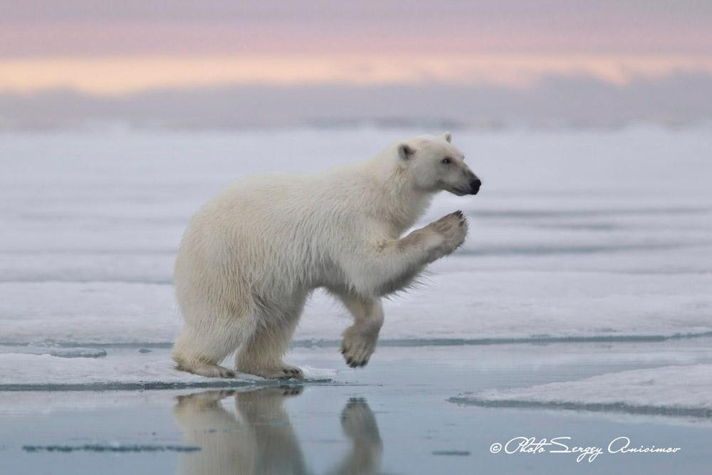 Climate change threatens many Arctic animals with extinction. At greatest risk are the polar bears: carnivorous mammals that can grow to be 3 meters long and weigh up to one metric ton.