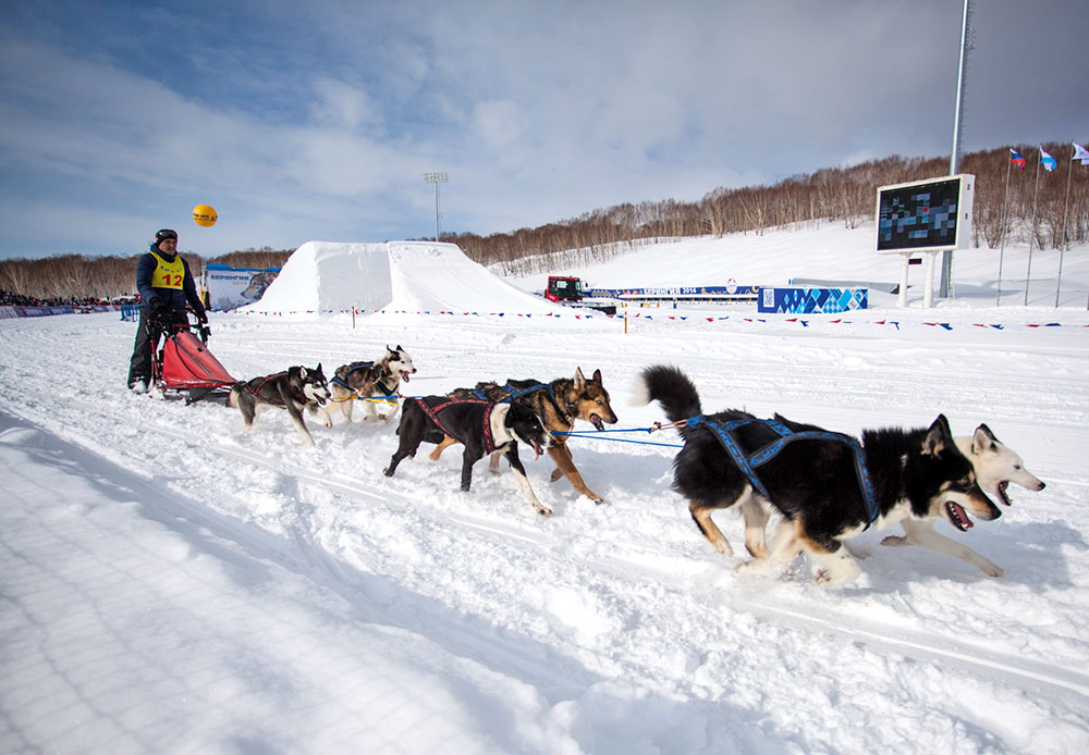 In 1991, Beringia entered the Guinness Book of Records as the longest sled dog race in the world. It has since lost this status because its distance was shortened.