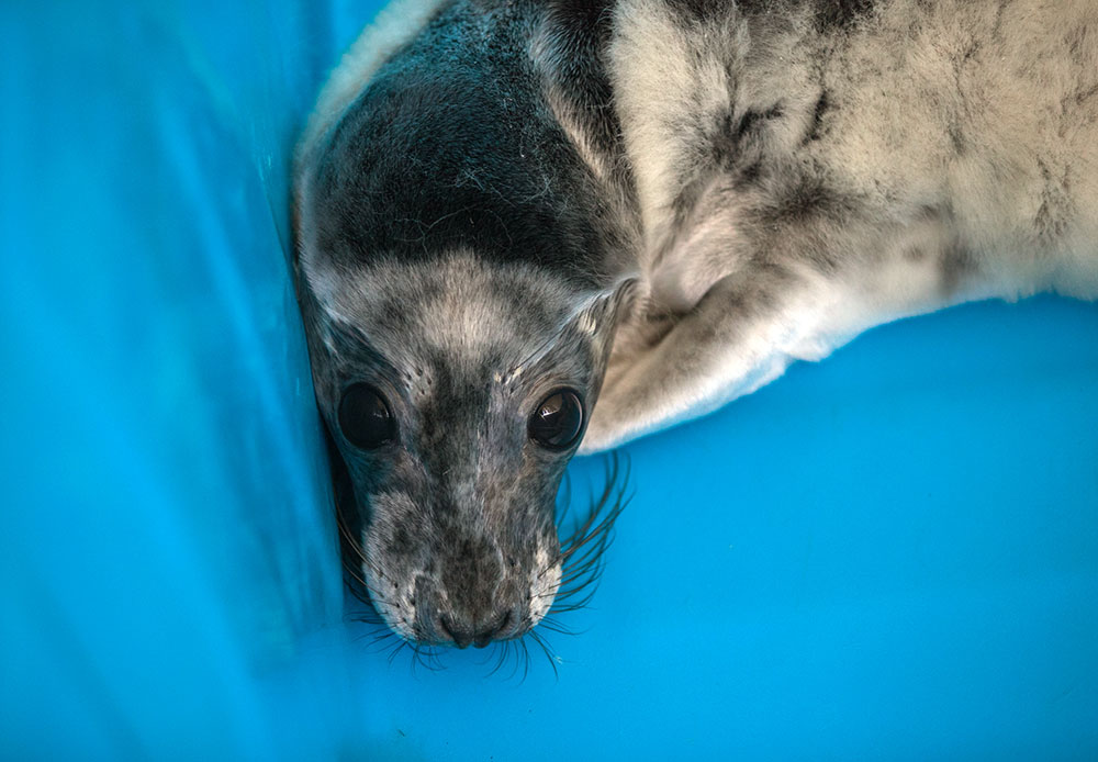 For the second spring in a row, Saint Petersburg's Kurortny District, located on the shore of the Gulf of Finland, is opening a seasonal station to save helpless orphaned grey and ringed seals.