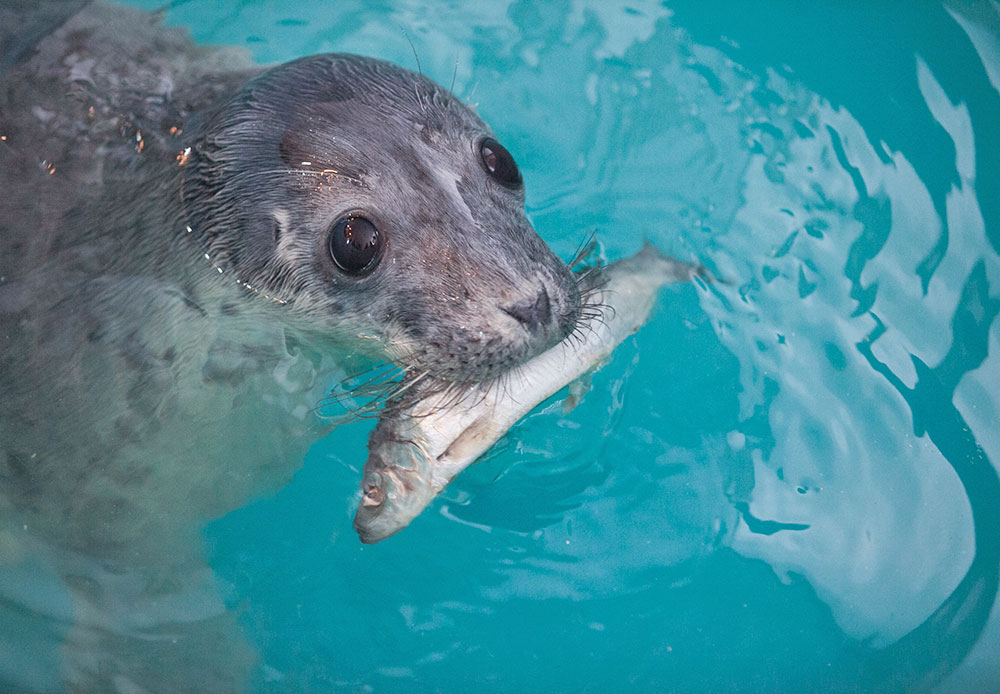 Older seals are given fish fat, mince meat, and solutions to restore their water balance.