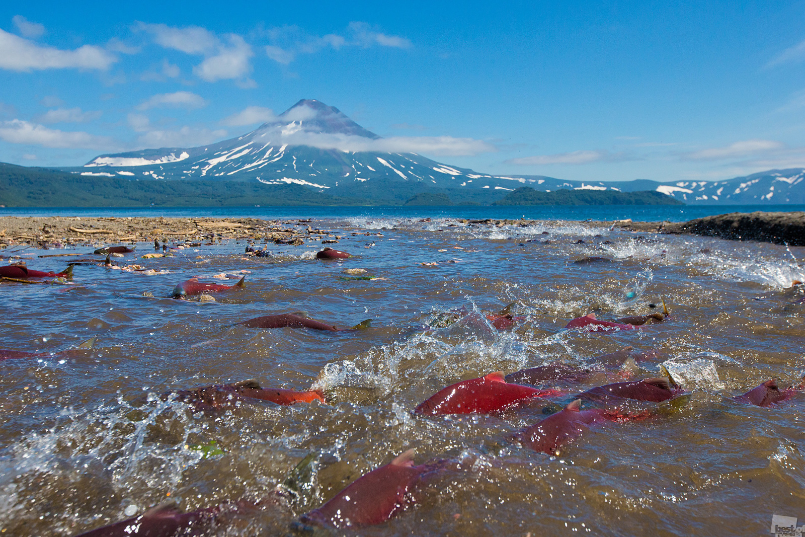 Scientists have still not found the answer to the question of why salmon return to the place they were born to spawn. Nevertheless, several million red salmon swim to the Kuril Lake every year in order to reach their birthplace to breed and then die near the nest of eggs they've just laid. Each year, these intrepid fish make the long, hard journey from the ocean back home, swimming against the current and overcoming many obstacles. All this to give their lives for the sake of the next generation. Yuzhno-Kamchatsky Wildlife Reserve, Kamchatka Krai.