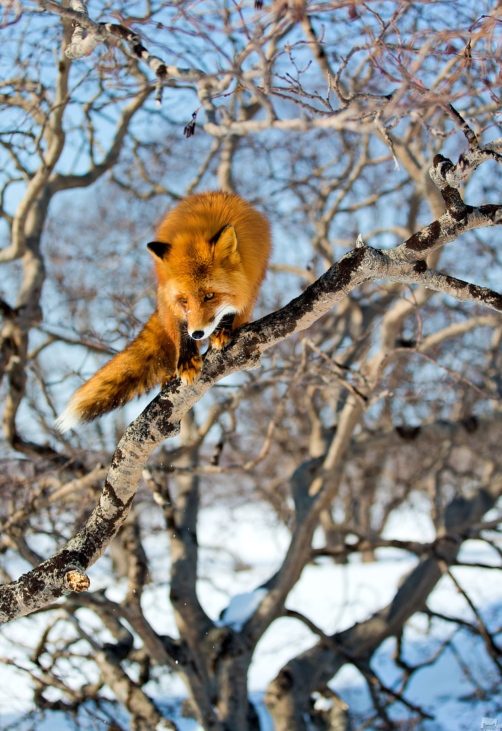 The Kronotsky Nature Reserve, March 2013. It seems that foxes can climb trees, especially if the tree is leaning slightly or its branches aren't too high off the ground. Judging by the way this fox leaps from branch to branch, this activity must be very familiar to it. Kronotsky Nature Reserve, Kamchatka Krai