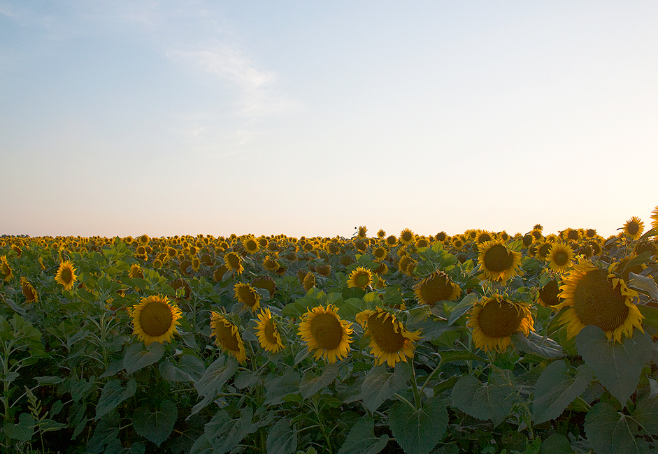There are many fields of sunflowers in the steppes surrounding Rostov-on-Don. This is the predominant agriculture in the Rostov region.