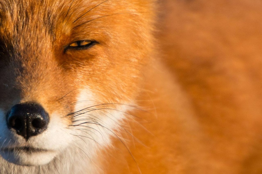 The red fox is the most common predator in Chukotka listed in the IUCN Red List of Threatened Species. Foxes here differ in their lighter color and larger size, which is characteristic of animals that move from south to north.