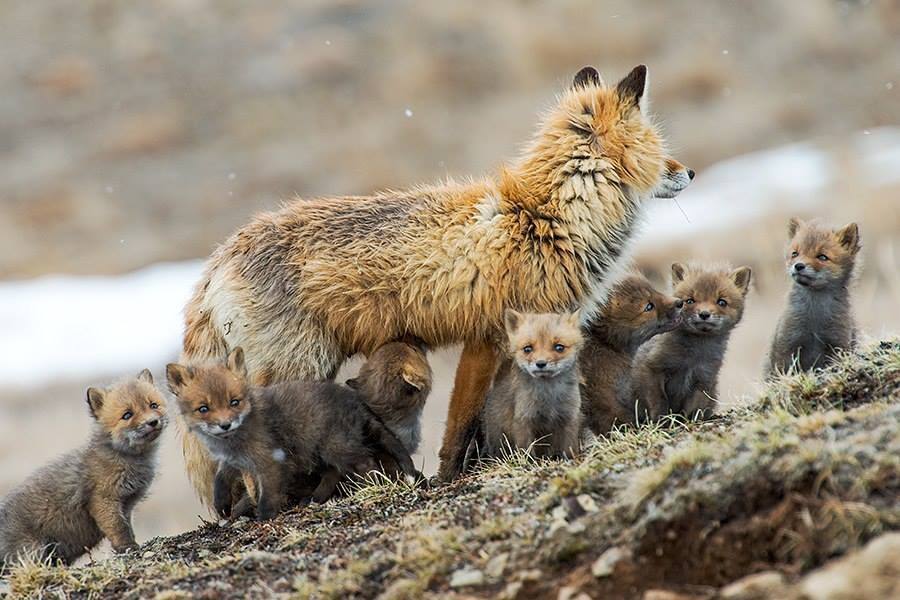 In the north, especially in the mountains, there are also foxes with black and other-colored furs, like blackish brown. The most common type of colors is a bright red back, a light-colored belly, and dark paws.
