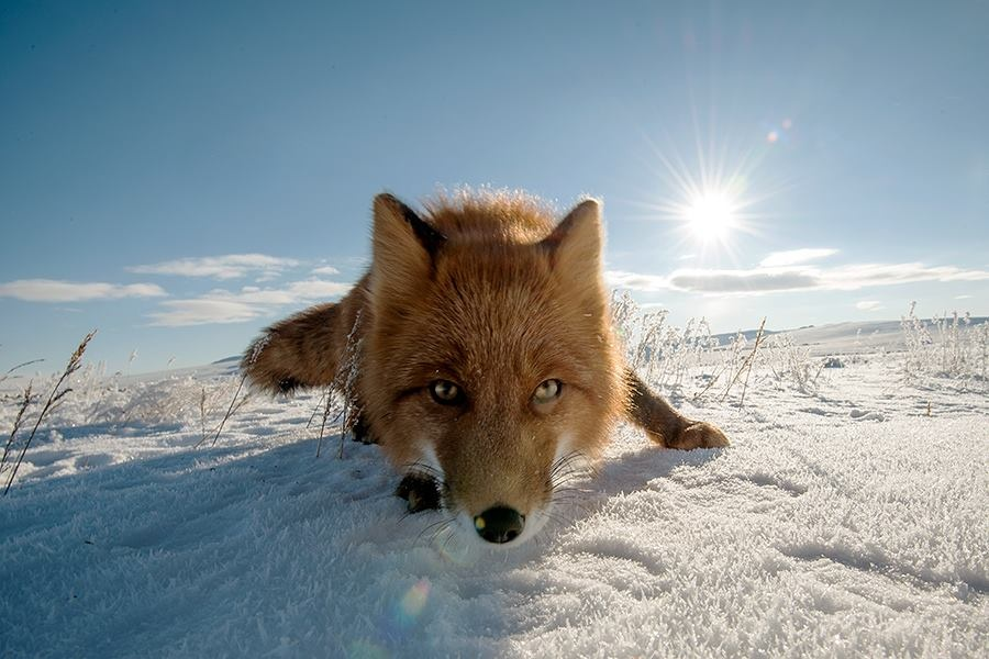 Chukchi foxes' primary nutrition consists of small rodents (field mice, lemmings) that they can find even under the snow. Sometimes the foxes are even up for catching birds, even making runs on chicken coops. But this happens a lot less often than old wives' tales would have it.