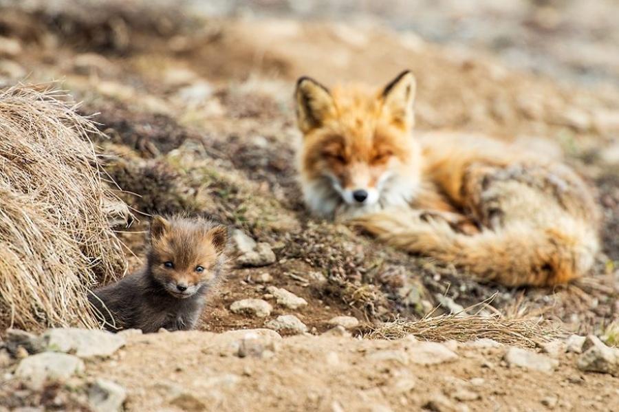 """The animals I love to photograph the most are foxes. They come out very real in pictures,"" Ivan says."