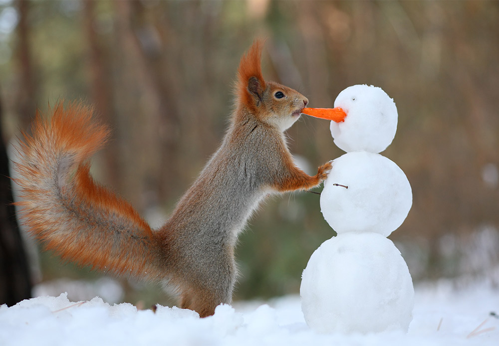A carrot is a better windfall in any case. This squirrel doesn't even mind if it's someone's nose.