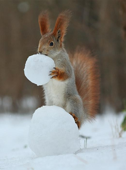 Are snowballs tasty? It's silly to think you can make up your mind after just one. That's what this squirrel thinks at any rate...