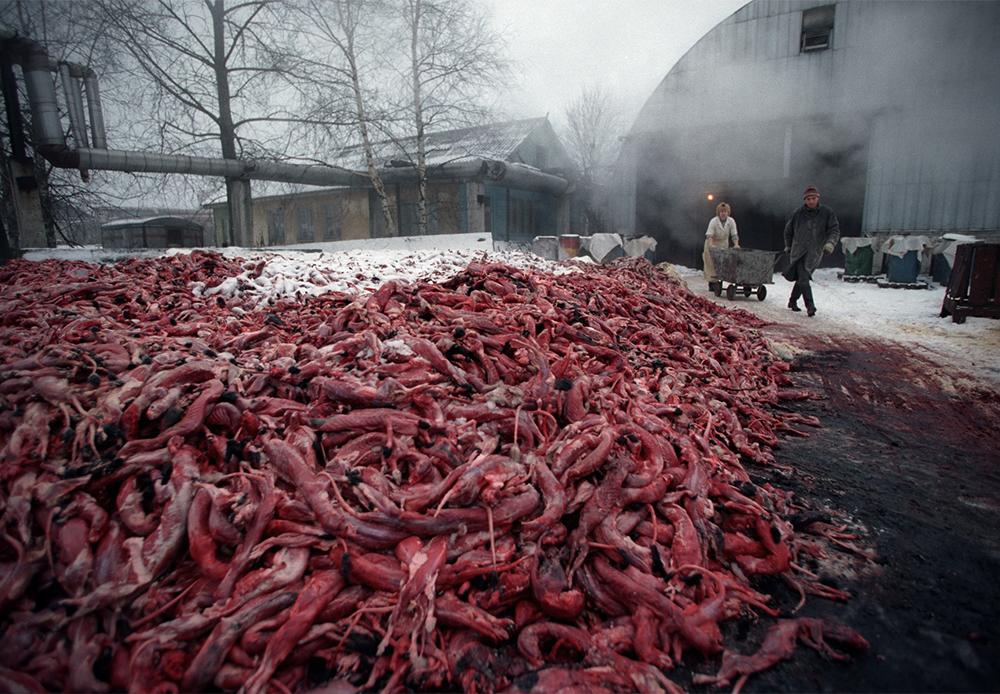 Ferme d'élevage d'animaux d'État « Pionier ». Colonie Mchinskaïa, région de Saint-Pétersbourg, 2002. Cette image saisissante et très claire peut être observée lors de presque toutes les manifestations anti-fourrure en Russie et au-delà.