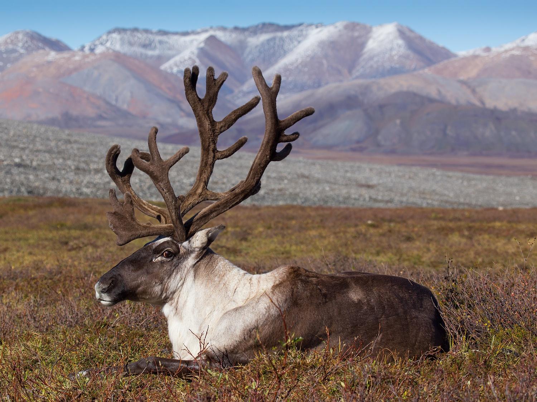 reindeers2