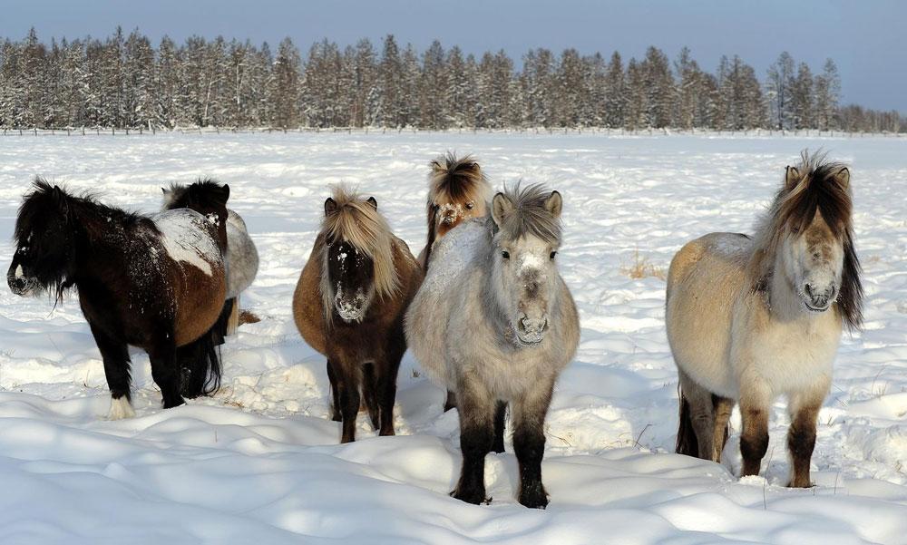 Yakutian horse