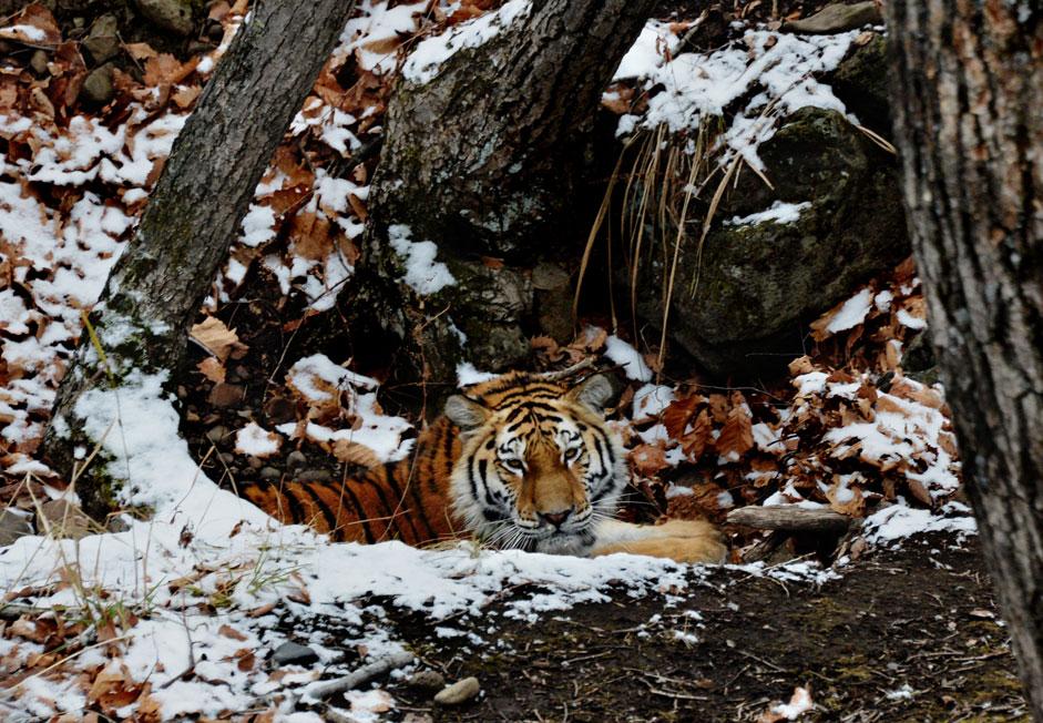 Young Amur tiger