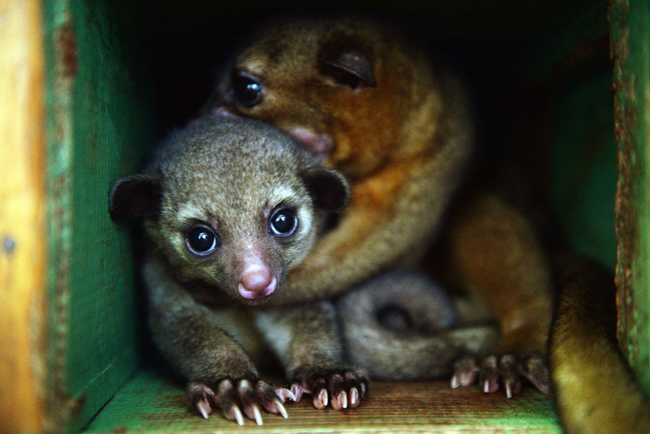 A kinkajou cub at the Yekaterinburg Zoo