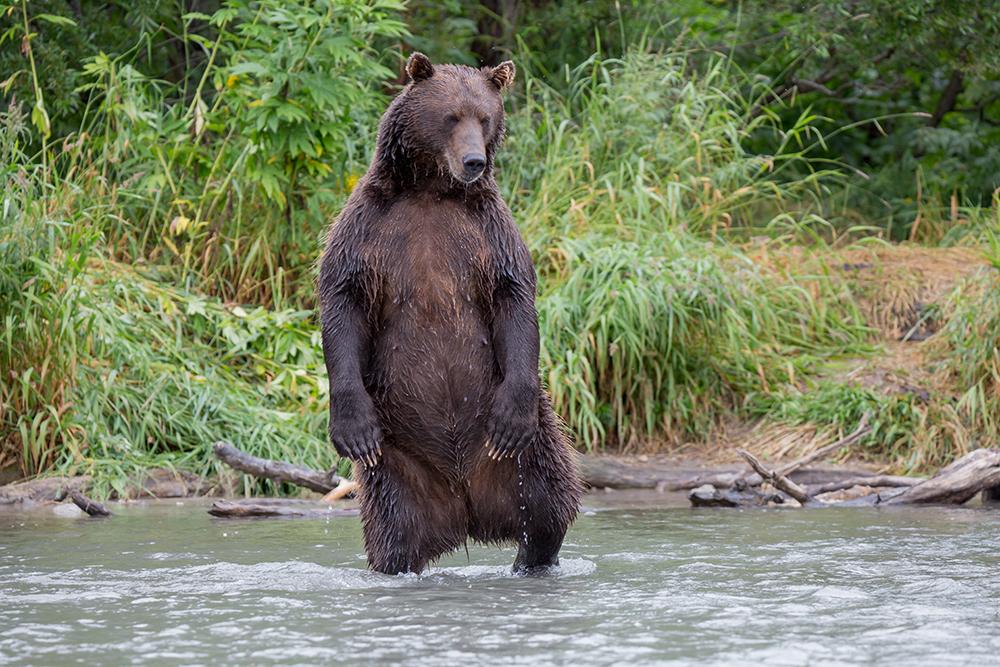 Bears Kamchatka