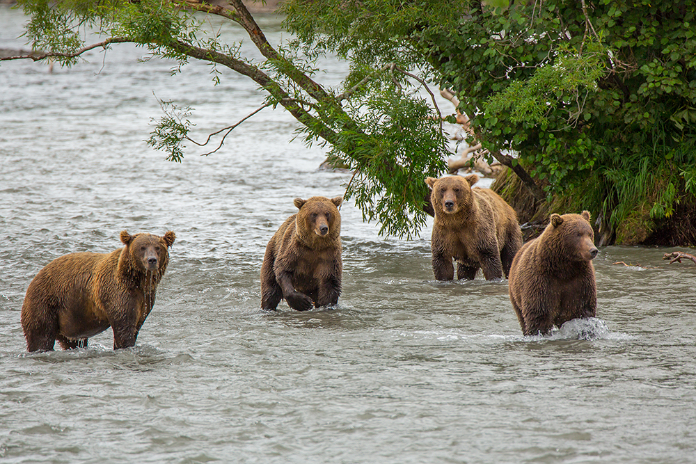 Bears Kamchatka