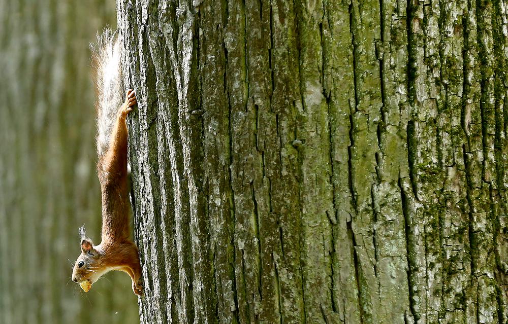 A squirrel in Ostafyevo park