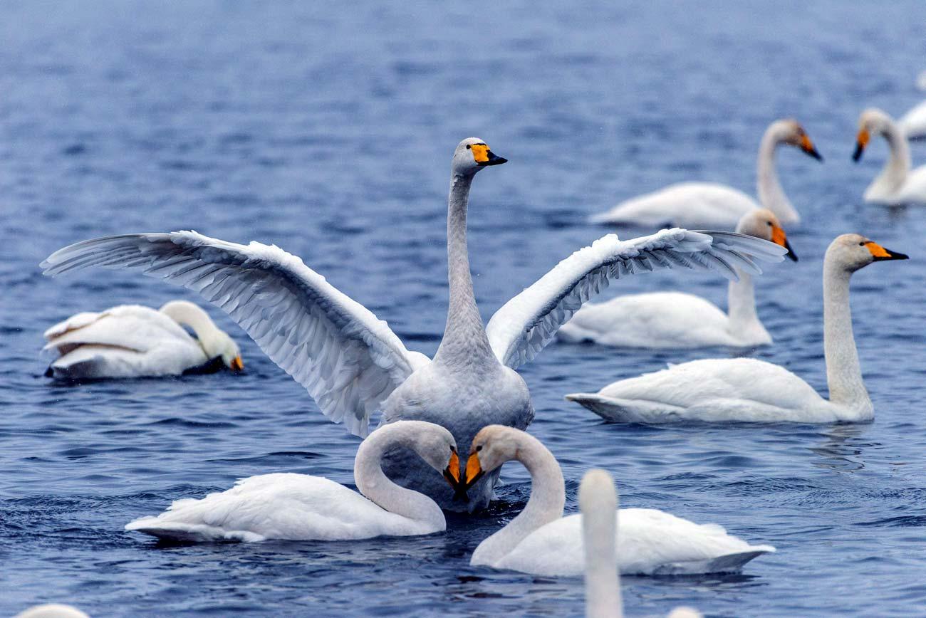 Altai swans