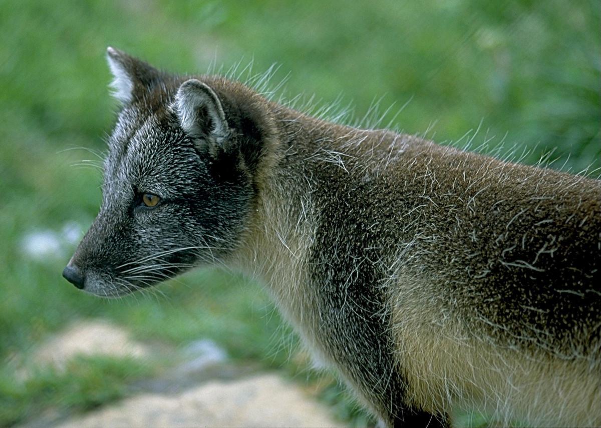 Blue Arctic Fox