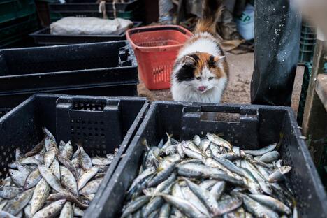 Sevastopol cat and fish