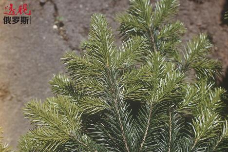 Siberian fir