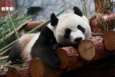 Ru Yi panda bear