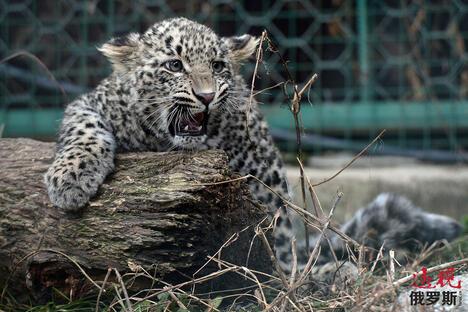 Leopard Breeding Centre CN