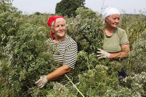 """收集和采购草药是""""大莫热伊科沃农场""""农业公司重要业务之一。图中:正在收集和储存缬草的种子,图片来源:PhotoXPress"""